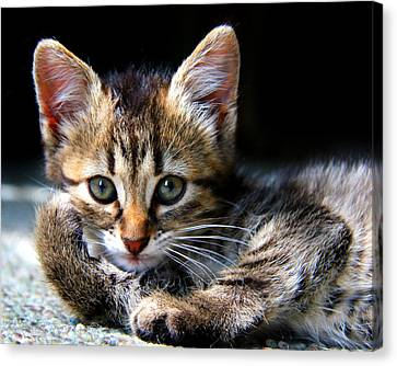 Posing Kitty Canvas Print by Joe Myeress