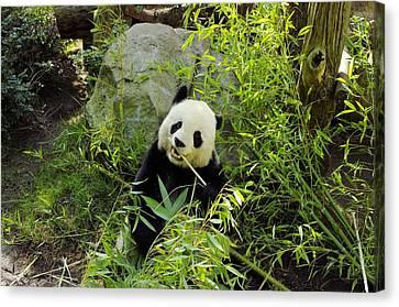 Posing Panda Canvas Print by John  Greaves