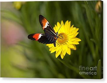 Postman Butterfly On Yellow Straw Flower Canvas Print