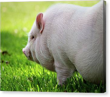 Potbelly Pig Canvas Print by Christopher Jenkins  c/o www.luckyshotphotos.com