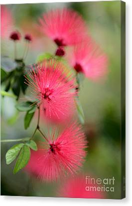 Powder Puff Flowers Canvas Print by Sabrina L Ryan