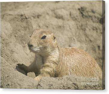 Prairie Dog Canvas Print by Odon Czintos