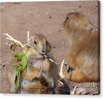 Prairie Dogs Canvas Print by Methune Hively