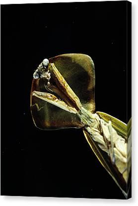 Praying Mantis Canvas Print by Volker Steger