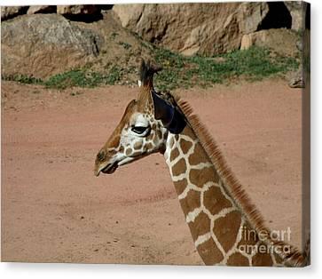Precious Baby Giraffe Canvas Print by Donna Parlow