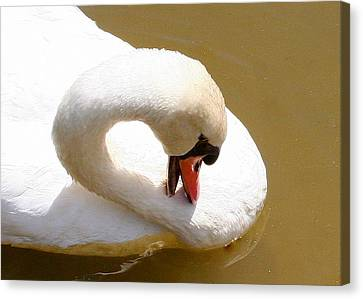 Canvas Print featuring the photograph Preening Swan Two by Paula Tohline Calhoun