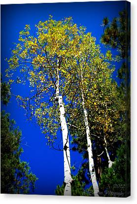 Prescott Fall Aspen Canopies Canvas Print