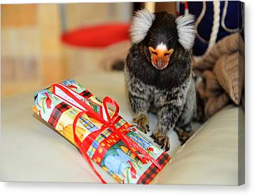 Present Time Chewy The Marmoset Canvas Print by Barry R Jones Jr