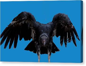 Vulture Canvas Print - Pretty Bird Not by LeeAnn McLaneGoetz McLaneGoetzStudioLLCcom