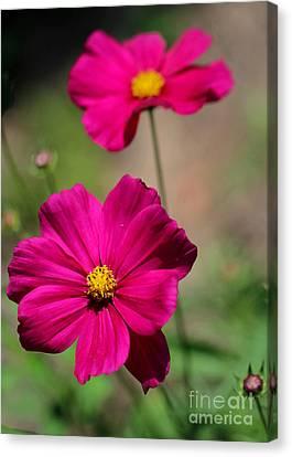 Fuschia Canvas Print - Pretty Cosmos Flowers by Sabrina L Ryan