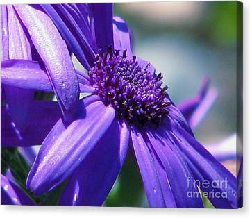 Pretty In Pericallis Canvas Print by Rory Sagner