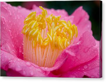 Pretty In Pink Canvas Print by Rich Franco