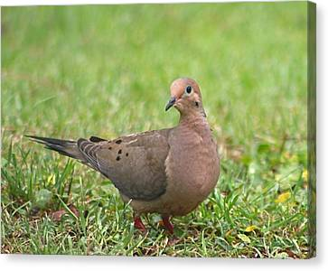 Pretty Mourning Dove Canvas Print by Jeanne Kay Juhos