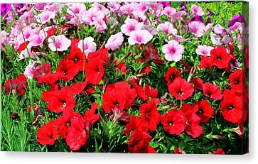 Pretty Petunias Canvas Print by Laurel Talabere