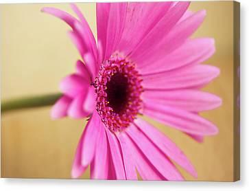 Pretty Pink Gerbera Flower Canvas Print by Michaela Gunter