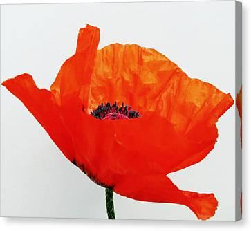 Pretty Poppy Canvas Print by Ramona Johnston