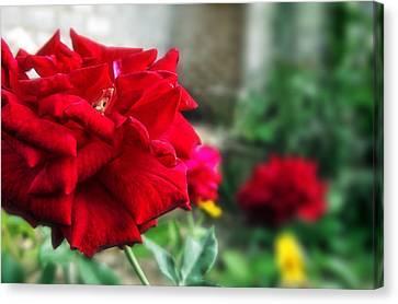 Pretty Red Rose Canvas Print by Dumindu Shanaka