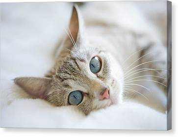 Pretty White Cat With Blue Eyes Laying On Couch. Canvas Print