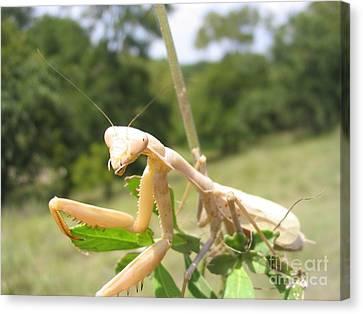 Preying Mantis Canvas Print
