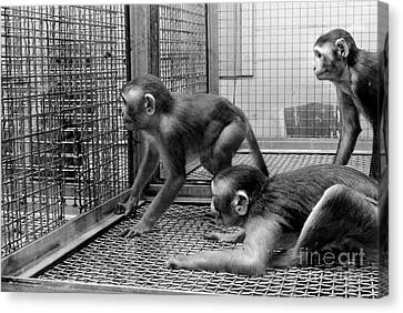 Primate Research Canvas Print by Science Source