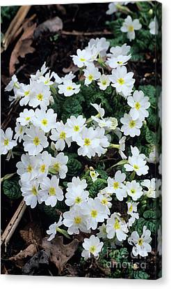 Primroses Canvas Print by Adrian Thomas