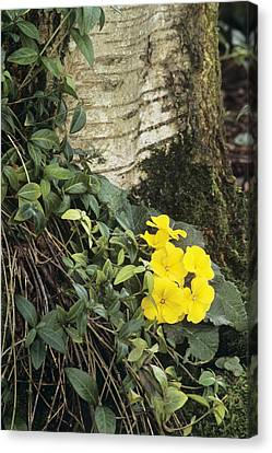 Primula 'wanda' And Vinca Minor Canvas Print by Archie Young