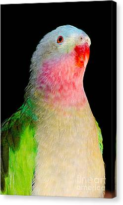 Princess Parrot Polytelis Alexandrae Western Australia Canvas Print by Andy Smy