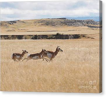 Pronghorn Antelopes On The Run Canvas Print by Art Whitton