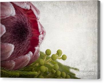Protea Canvas Print by Jane Rix
