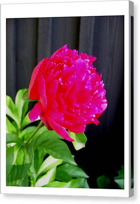 Canvas Print featuring the photograph Proud And Radiant by Frank Wickham