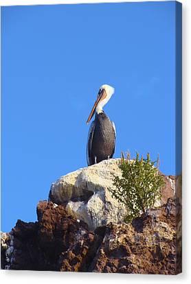 Proud Pelican Canvas Print by Ramie Liddle
