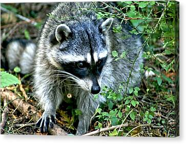 Canvas Print featuring the photograph Pt. Defiance Raccon by Rob Green