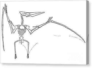 Pteranodon Longiceps Canvas Print by Science Source