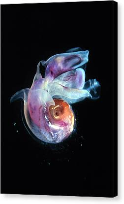 Pteropod Mollusc, Candida Species Canvas Print by Sinclair Stammers