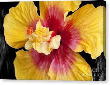 Pua Aloalo Kahaulani Lahilahi Tropical Hibiscus Hawaii Canvas Print by Sharon Mau
