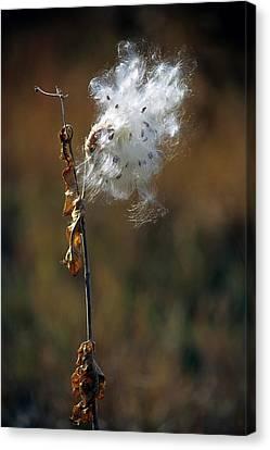 Puffy Milkweed Fluff Canvas Print