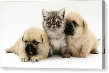 Shihtzu Canvas Print - Pugzu Puppies by Jane Burton