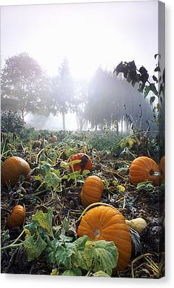 Pumpkin Patch, British Columbia Canvas Print by David Nunuk