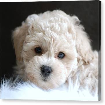 Puppy Dog Eyes Canvas Print by Lisa  DiFruscio