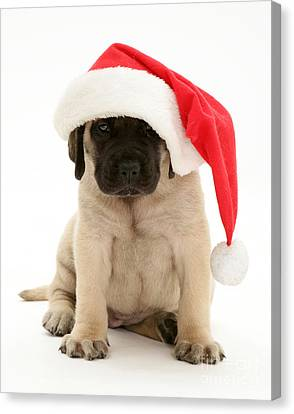 Puppy In A Santa Hat Canvas Print by Jane Burton