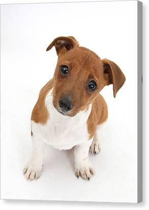 Puppy Looking Up Canvas Print by Mark Taylor