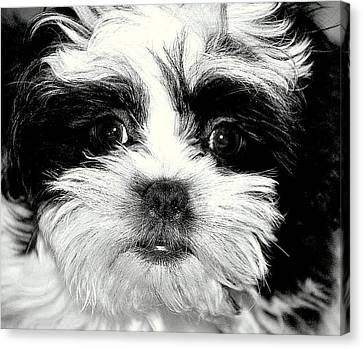 Puppy Love Canvas Print by Antonia Citrino