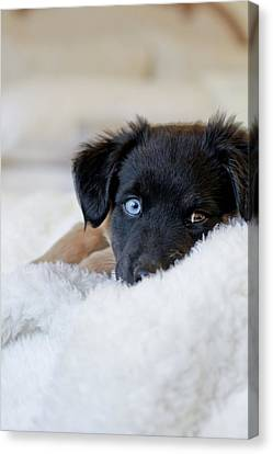 Puppy Lying On Soft Blanket Canvas Print by Angela Auclair