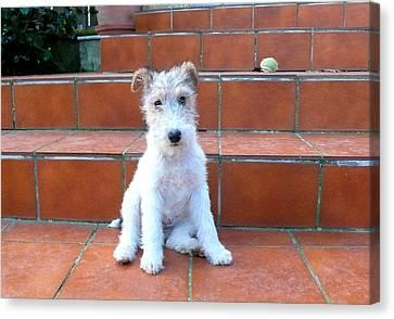 Puppy Of Fox Terrier Canvas Print by Paula Sierra