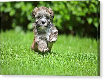 Puppy Running On Grass Canvas Print by @Hans Surfer