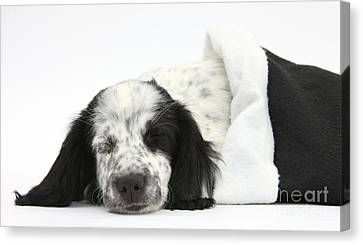 Puppy Sleeping In Christmas Hat Canvas Print by Mark Taylor