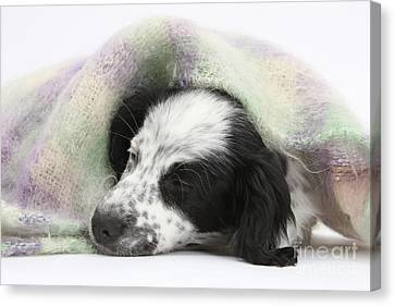 Puppy Sleeping Under Scarf Canvas Print by Mark Taylor