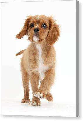 Puppy Trotting Foward Canvas Print by Mark Taylor