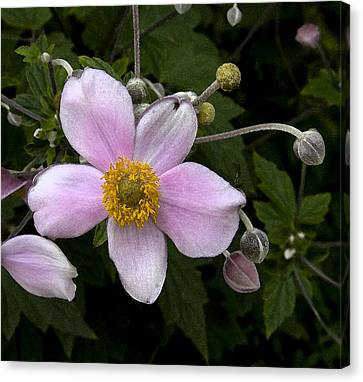 Canvas Print featuring the photograph Purple Anemone II by Michael Friedman