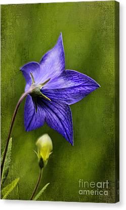 Purple Balloon Flower Canvas Print by Darren Fisher